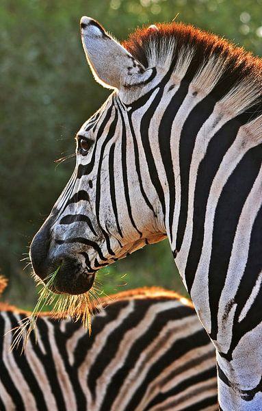 Zebra in South Africa van Manuel Schulz
