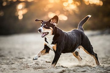 Entelbucher hund, der im Sand spielt von Lotte van Alderen
