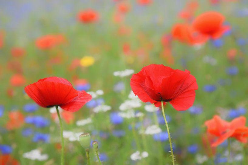 bloemenveld van klaprozen en korenbloemen, klaproos, korenbloem van Jessica Berendsen