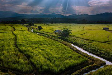 Zonsondergang over de rijsvelden in Thailand van