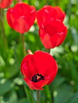 Rote Tulpen in voller Blüte von Bart Nikkels