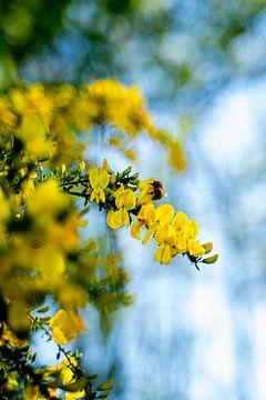 Een bij in gele bloemen op zoek naar nectar in close up van Dieuwertje Van der Stoep