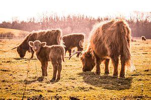 Gezin met jonge Schotse hooglanders in Brabant
