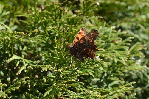 Vlinder (Gehakkelde Aurelia)