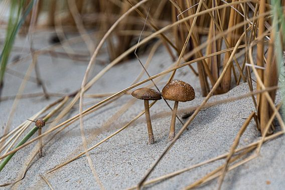 Duinpaddenstoelen (2)