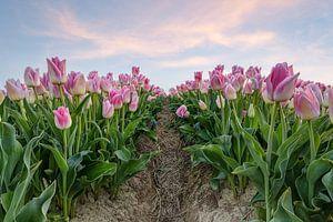 Des tulipes roses dans un champ