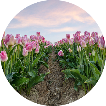 Roze tulpen in het veld van Michael Valjak
