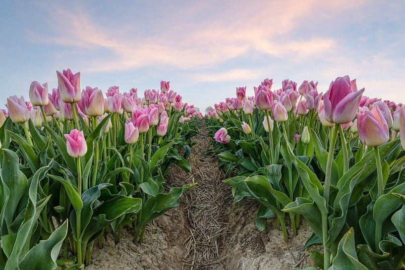 Des tulipes roses dans un champ sur Michael Valjak