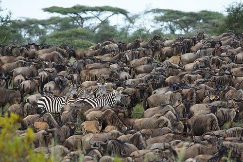 Zebra's tussen gnoes in Ndutu, Tanzania van Anja Brouwer
