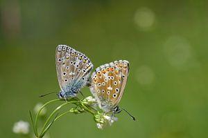 twee vlinders op een bloem van Ulrike Leone