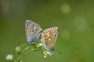 twee vlinders op een bloem