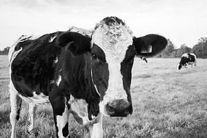 Close-up Nederlandse koe in weiland (zwart-wit)