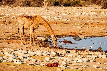Trinkende junge Giraffe. von Merijn Loch