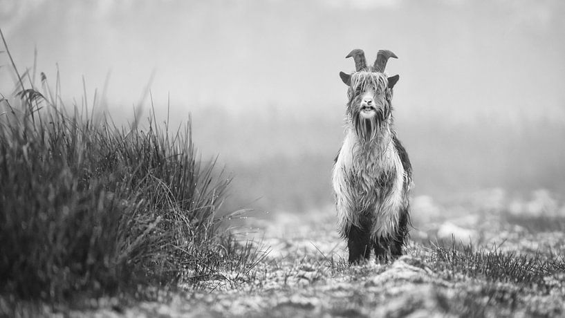 Landgeit in de Alde Feanen (zwart/wit) van Martijn van Dellen