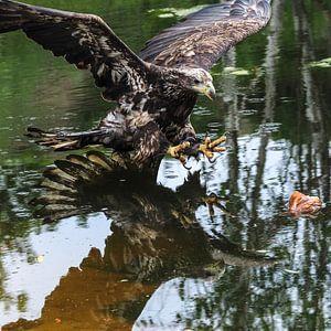 Weißschwanz-Seeadler