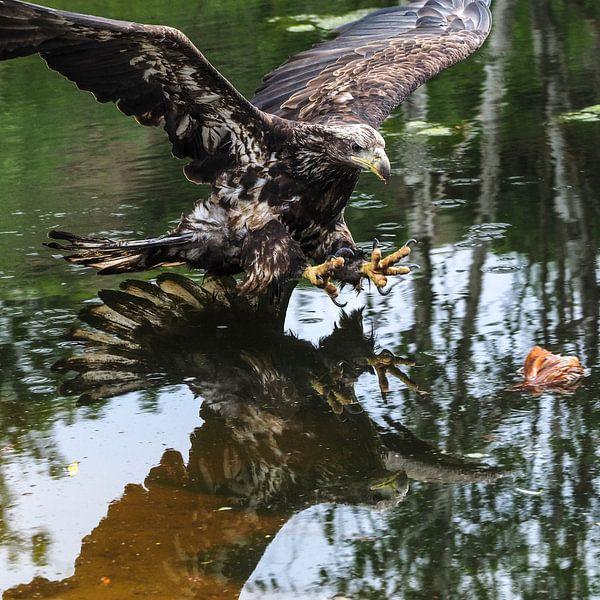 Weißschwanz-Seeadler von Loek Lobel