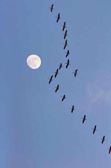 Kraanvogels met maan