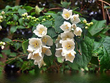fleurs blanches inconnues sur Edgar Schermaul