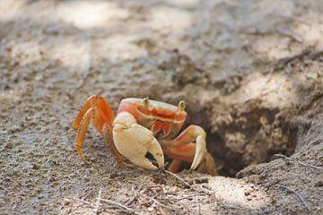 Krabbe am Strand von Grenada (Karibik) von t.ART