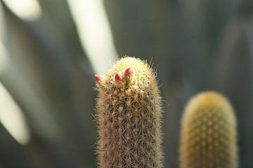Cactus in bloei van