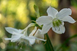 Witte orchidee van Annemarie Arensen