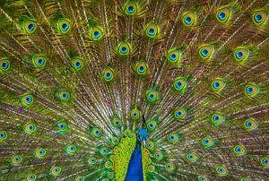 mannetjes pauw laat zijn veren zijn. van Niels  de Vries
