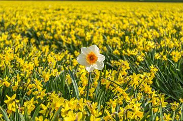 Narcis in het bollenveld van Richard Steenvoorden
