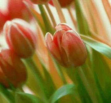 TulpenTijd