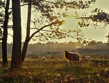 Heideschapen op landgoed Heidestein sur Pieter Heymeijer