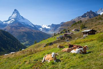 Koeien Findelen Matterhorn Zermatt van