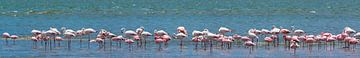 Zeer breed panorama van foeragerende flamingo's van Rietje Bulthuis