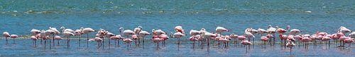 Zeer breed panorama van foeragerende flamingo's