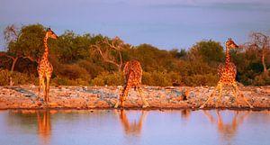 Giraffen im Abendlicht, Namibia von