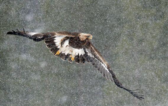 Steenarend vliegend in sneeuwstorm
