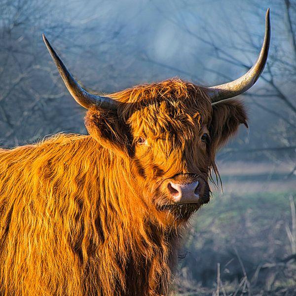 Schotse Hooglander in de mist van Rietje Bulthuis