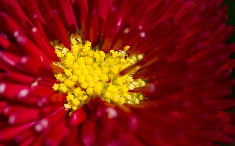 Close-up van een Dahlia van Eddie Meijer