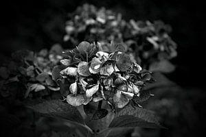 Hortensienblüten schwarzweiss
