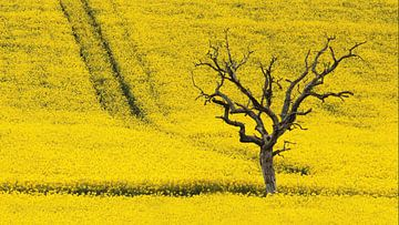 dode boom in koolzaadveld von Yvonne Blokland