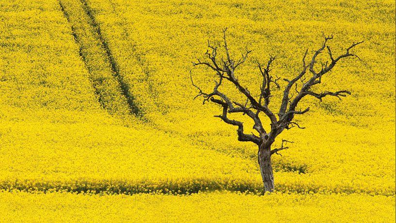 dode boom in koolzaadveld van Yvonne Blokland