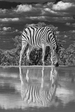 Ein Zebra, das an einer Wasserstelle trinkt und sich im Wasser spiegelt. von Gunter Nuyts