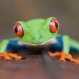 Red-eyed Leaf Frog, Agalychnis callydrias close-up van AGAMI Photo Agency