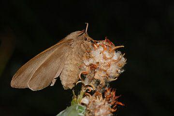 Veelvraat, nachtvlinder van Margreet Frowijn