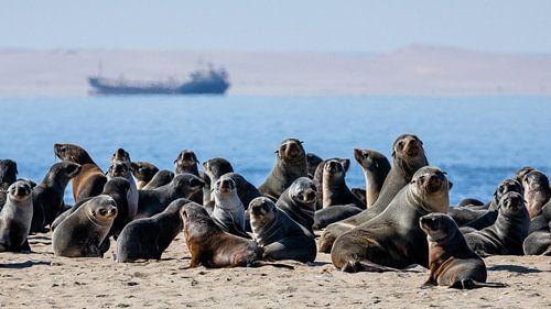 Kolonie pelsrobben / zeehonden bij Walvisbaai, Namibië van