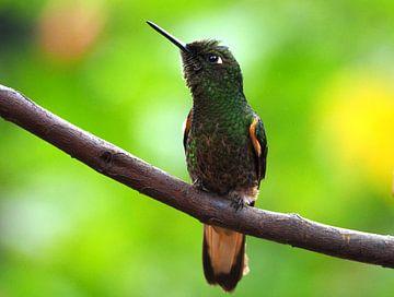 Bruinstaarthoorn Kolibrie Colombia van Ryan FKJ