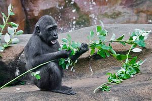 süßes kleines Affenbaby frisst grüne Blätter, wenn es auf den Felsen bei den Felsen sitzt
