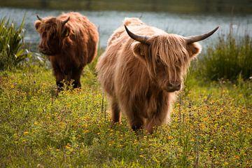 Schottische Hochlandbewohner von Samantha Rorijs