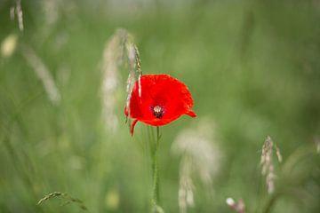 Rode klaproos in groen veld van Sylka Mannaert
