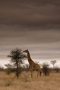 Giraffe in Kruger National Park van