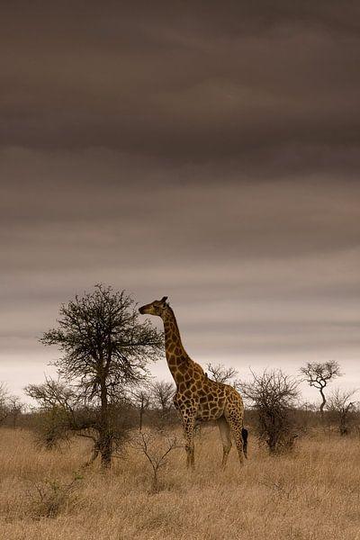 Giraffe in Kruger National Park van Jasper van der Meij
