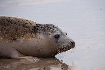 zeehondje op strand van Annelies Cranendonk